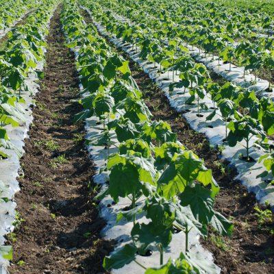Επενδύσεις: Αυτή η καλλιέργεια δίνει έως και 9.000 ευρώ το στρέμμα